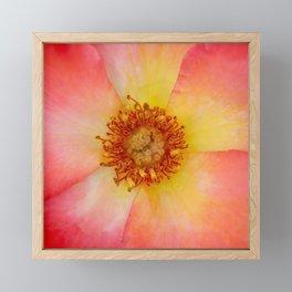 Macro of a Rose Framed Mini Art Print