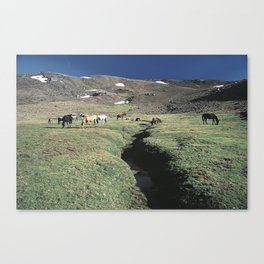Wild horses 3000 meters hight Canvas Print