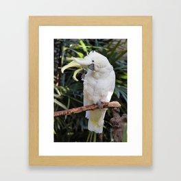 Sulfur-Crested Cockatoo Salutes the Photographer Framed Art Print