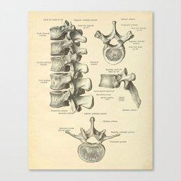 Vintage Human Vertebrae Anatomy Print Canvas Print