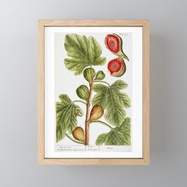 """Fig by Elizabeth Blackwell from """"A Curious Herbal,"""" 1737 (print benefits The Nature Conservancy) Framed Mini Art Print"""