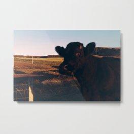 scottish cow portrait Metal Print