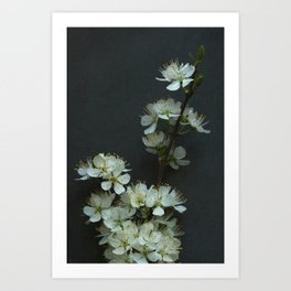 Blackthorn Blossom Art Print