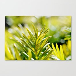 Yew Tree - New Growth Canvas Print