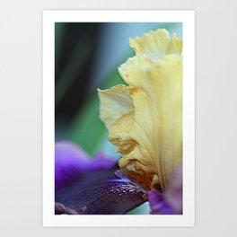 Tall Bearded Iris named Final Episode Art Print