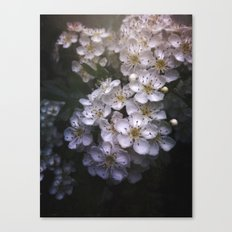 Hawthorn Blossoms Canvas Print