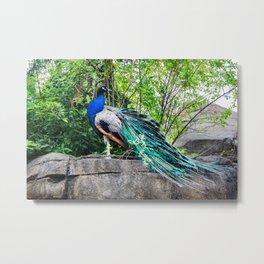 Pittsburgh Zoo - Peacock Metal Print