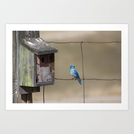 Mountain Bluebird at Home Art Print