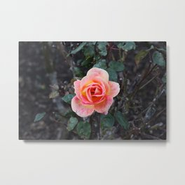 Peach & Pink Rose Metal Print