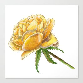 Yellow Rose on white Canvas Print