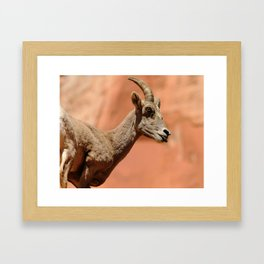 Bighorn Sheep Zion National Park Framed Art Print