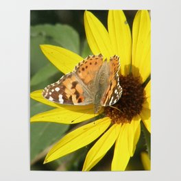 Painted Lady Butterfly Picks Pollen Poster