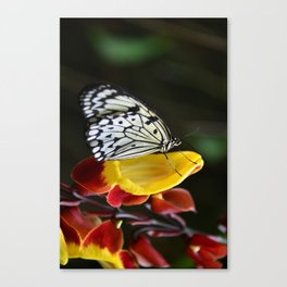 Tree Nymph Butterfly Canvas Print