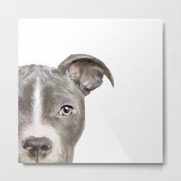 Pit bull with white background Metal Print