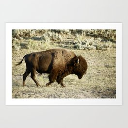 Bison in Yellowstone National Pa Art Print