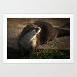 Otter Looking Into The Sunshine Art Print