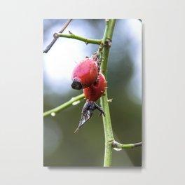 Hawthorn Berries In Winter, Macro (e) Metal Print