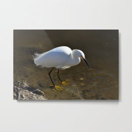 Snowy Egret with Catch Metal Print