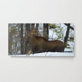 Moose calf in the snow, Canadian Rockies Mountains Metal Print