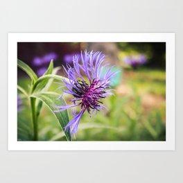 Perennial Cornflower Art Print