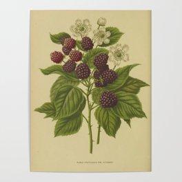 Botanical Blackberries Poster
