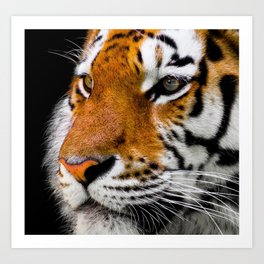Cute close-up picture of tiger on black background Art Print