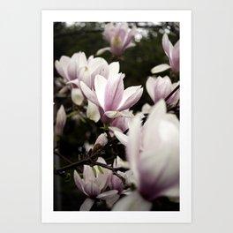 Pink and White Magnolia Blossoms Capture Sunshine Through Cloudcover Art Print