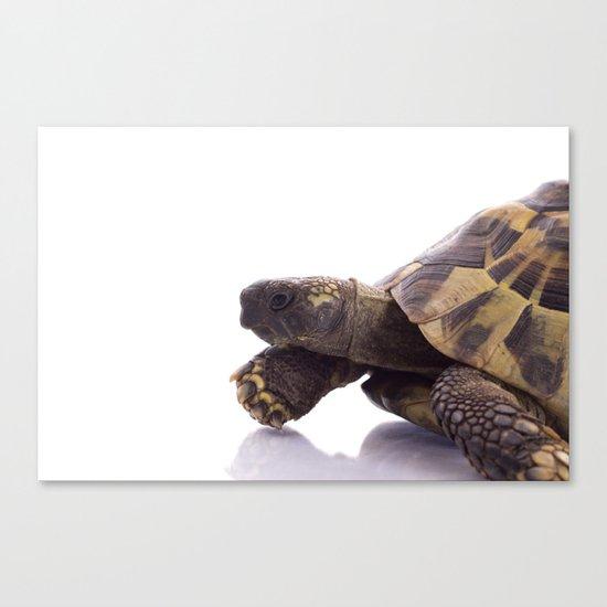 Greek land tortoise Canvas Print