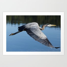 Great Blue Heron in Motion Art Print