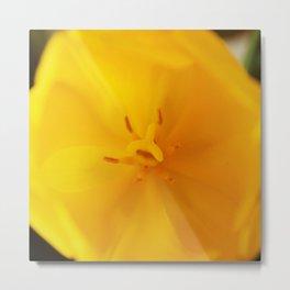 Yellow tulip close up Metal Print