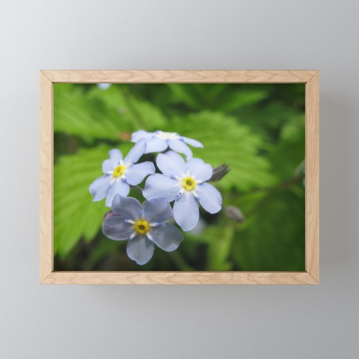 USA - MINNESOTA - Forget-me-nots Framed Mini Art Print