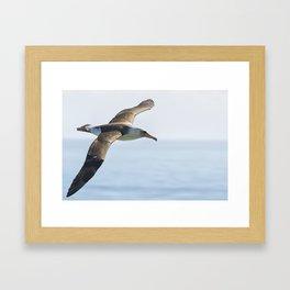 Laysan's Albatross No. 2 Framed Art Print