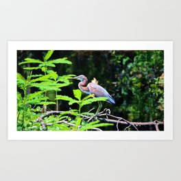 Juvenile Tricolored Heron Art Print