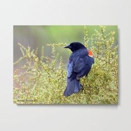 Tijuana Slough Male Redwing Blackbird Metal Print