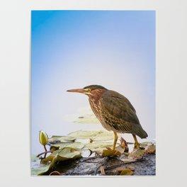 Crowned Night-Heron- Hammond pond Poster