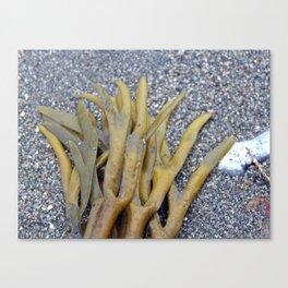 Kelp Bladders Canvas Print