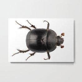 earth-boring dung beetle species Metal Print