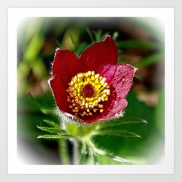 Red pasque flower Art Print