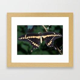 Butterfly wings open Framed Art Print