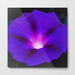 Glorious purple morning glory Grandpa Ott Ipomoea Metal Print