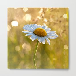 Floral Daisy Flower Flowers in a meadow after rain Metal Print