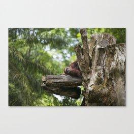 Lazy Orangutan Canvas Print