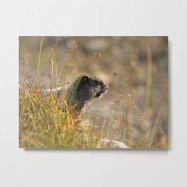 Marmot In The Morning... Metal Print