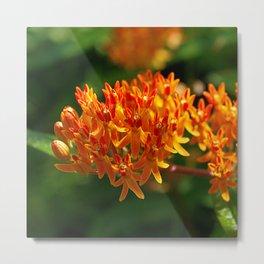 Butterflyweed, Asclepias tuberosa Metal Print