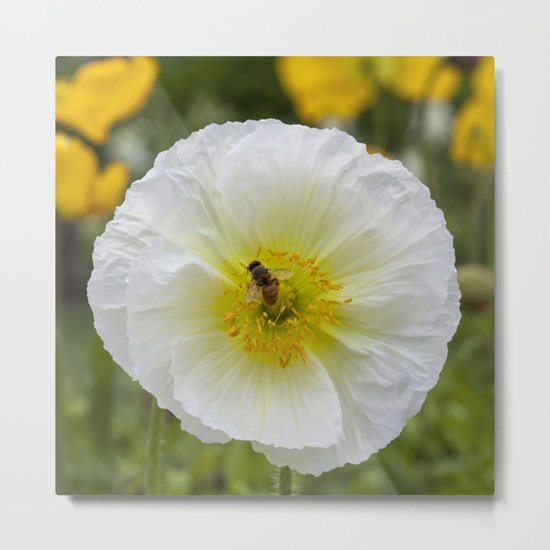 White Poppy with Bee Metal Print