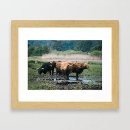 Group of highland cattle on a wet meadow Framed Art Print