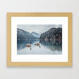 Couple of swans, Alpsee lake Framed Art Print