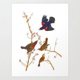 Red winged Starling, or Marsh Blackbird Art Print