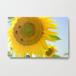 bumblebees taking nectar on yellow sunflower Metal Print