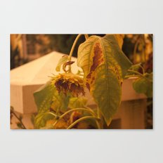 The Sun has Set and tomorrow, God willing, it will rise again [SUNFLOWER] [WILTING] [YELLOW SKY]  Canvas Print